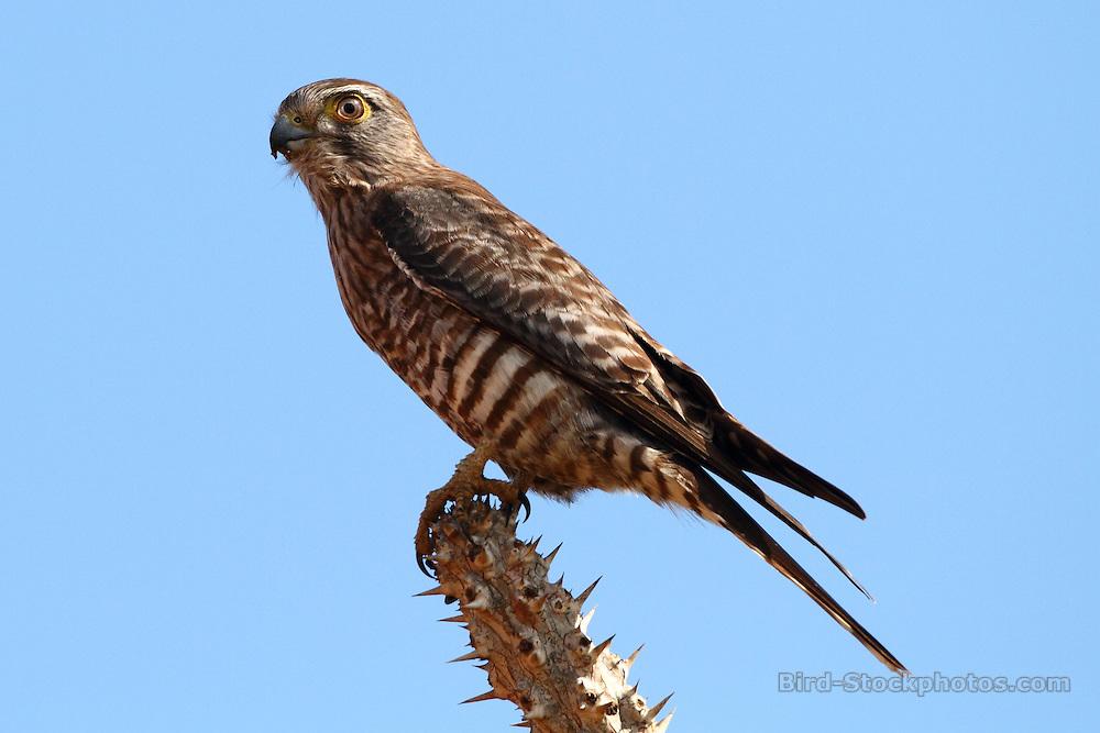 Banded Kestrel, Falco zoniventris, Madagascar, by Markus Lilje