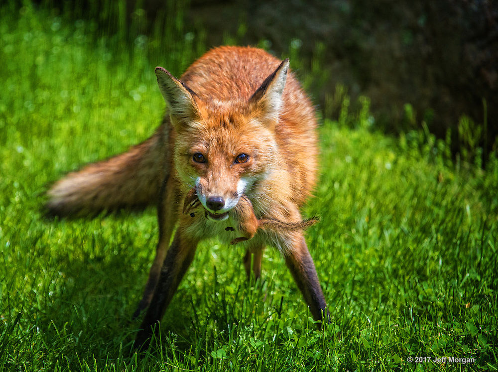 An adult female Red Fox with a freshly caught chipmunk.