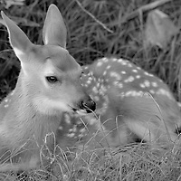 A black and white image of a white-tailed deer (Odocoileus virginianus) fawn bedded down for the evening near Big Meadows, Shenandoah National Park, Virginia.