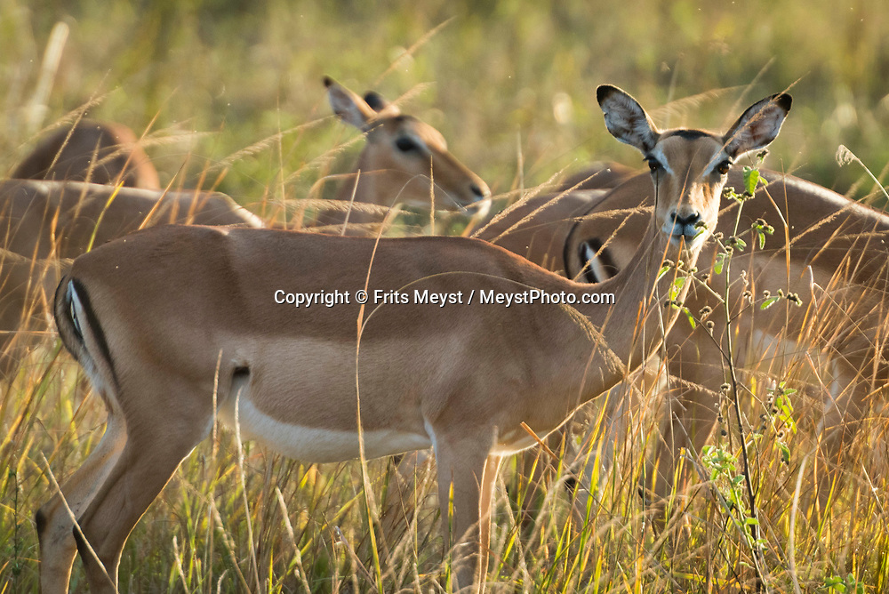 Malawi, July 2017. Impala. FRom Mvuu Lodge one can explore Liwonde National Park through game drives and boat safari. Malawi is known for its long rift valley and the third largest lake in Africa: Lake Malawi. Malawi is populated with friendly welcoming people, who gave it the name: the warm heart of Africa. In the south the lake make way for a landscape of valleys surrounded by spectacular mountain ranges. Photo by Frits Meyst / MeystPhoto.com