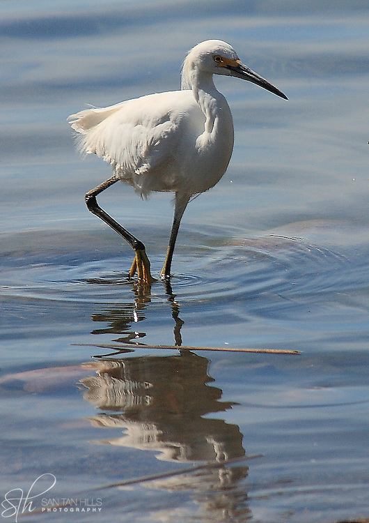 Stork standing in shallow waters at the Riparian Preserve in Gilbert, AZ