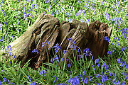 Native English bluebells (Hyacinthoides non-scripta) surround the deeply fissured, decaying stump of an ancient tree in Southrey Wood, Lincolnshire. <br />