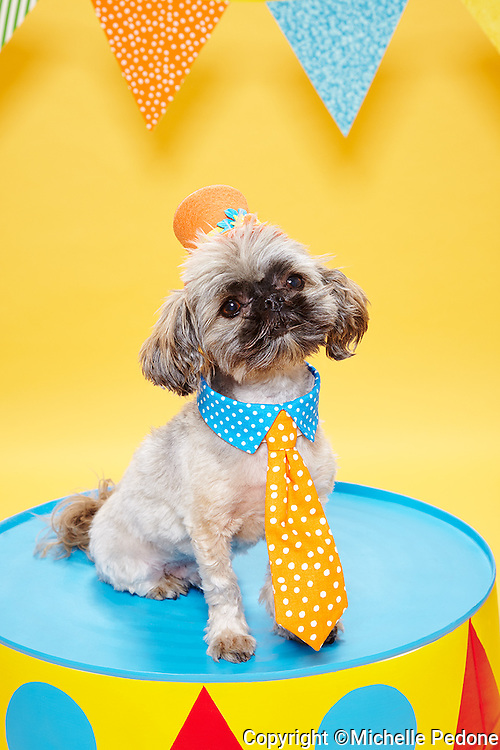 Brussels Griffon mixed breed wearing clown hat and tie sitting on circus pedestal<br /> Photographed at Photoville Photo Booth September 20, 2015