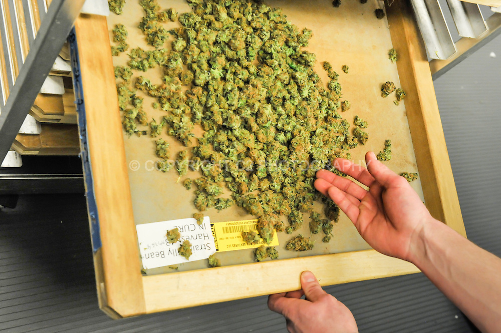 Jonathan Ellington, assistant grow manager for Silverpeak Apothecary, shows curing marijuana buds at the grow operation.