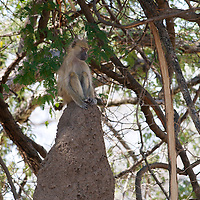 Yellow baboon sitting on termite mound.