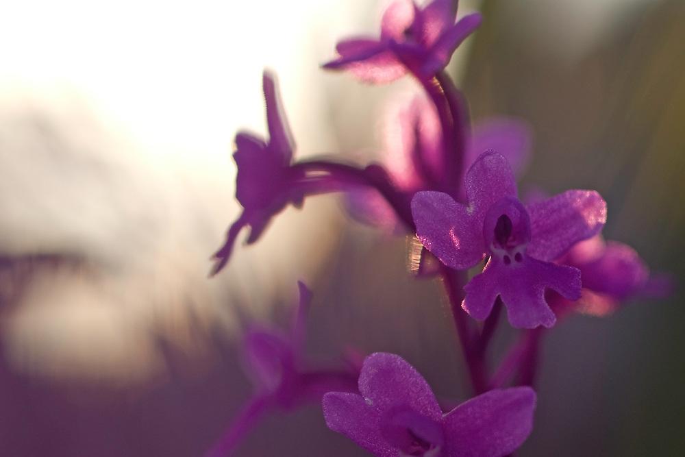 Apulia; Four-Spotted Orchid; Gargano National Park; Gargano Peninsula; Italy; Monte Sacro; Orchis quadripunctata