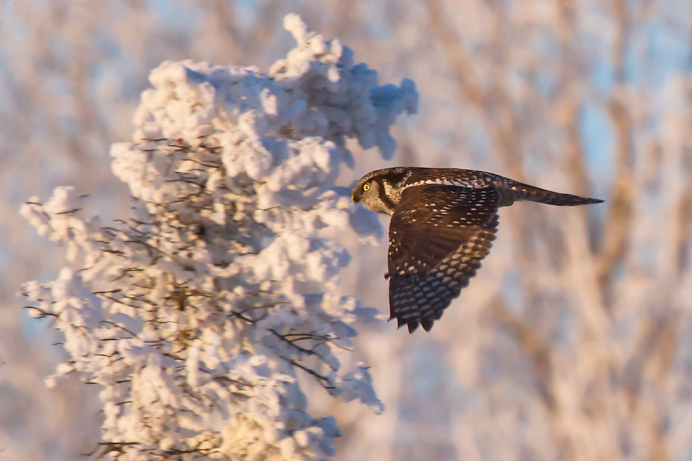 Alaska. Northern Hawk Owl (Surnia ulula) flying across a wintery landscape, Anchorage.