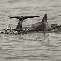 Dolphins in the beach of Bocas del Toro. Panama