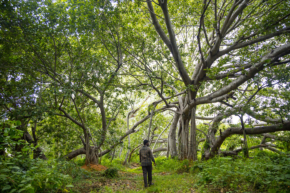 "THIMMAMMA MARRIMANU, INDIA - 25th October 2019 - Tourist Guide Anil Kumar walks around the Thimmamma Marrimanu banyan - the world's largest single tree canopy. With more than 4000 roots, the banyan tree (Ficus benghalensis) was first added to the Guinness Book of World Records in 1989 (its entry updated in 2017) as being 550 years old and having the ""greatest perimeter length for a tree"", spreading over five acres with a circumference of 846m. Andhra Pradesh, South India."