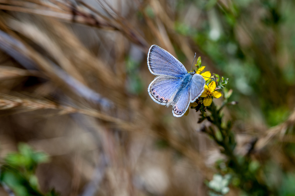 Plebejus acmon (Acmon Blue) ♂ at Grizzly Flat, Angeles NF, Los Angeles Co, CA, USA, on 22-May-16