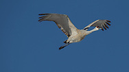 Sandhill crane in flight, showing primary feathers spread and flexing from air flow during the upward stroke of the wing.  Streamlined position of neck, legs, and feet is evident. Middle Rio Grande Valley, NM. © 2011 David A. Ponton