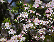 SPARROW FEEDING ON APPLE TREE BLOSSOMS, E. DORSET, VT