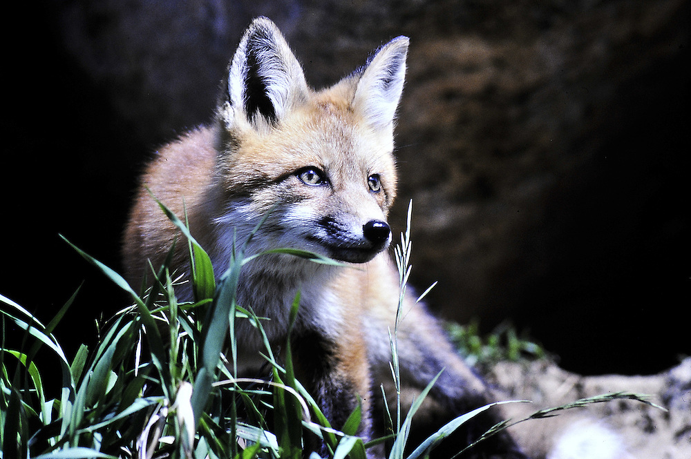 This fox is found in five continents because it is so<br />