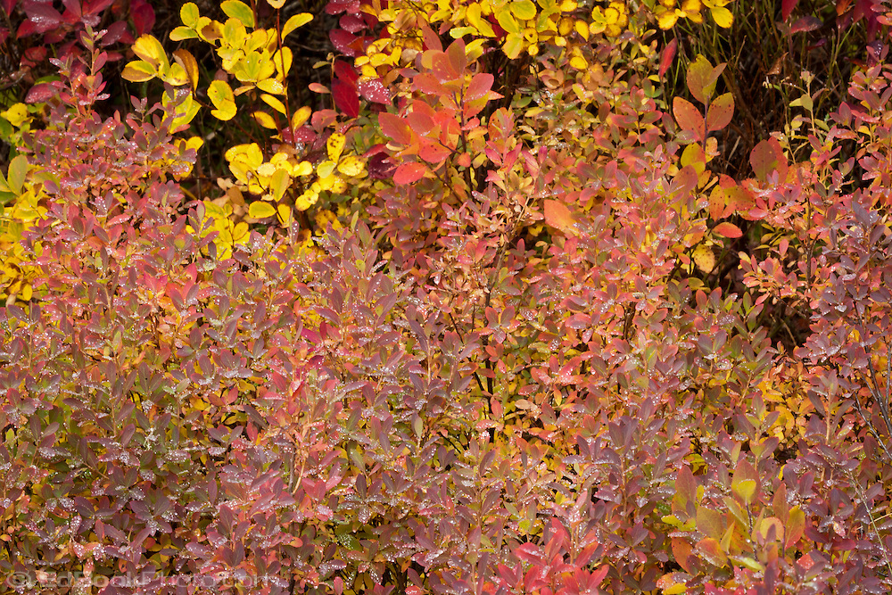Huckleberry (Vaccinium membranaceum) in autumn, Takh Takh Meadow, Gifford Pinchot National Forest, Cascade Mountain Range, Washington, USA