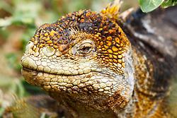 Detailed view of a Galapagos Land Iguana (Conolophus subcritatus), Galapagos Islands National Park, North Seymour Island, Galapagos, Ecuador