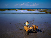 31 JULY 2017 - MENDOYO, JEMBRANA, BALI, INDONESIA: Farmers use buffalo and oxen to till a rice field in Bali.     PHOTO BY JACK KURTZ