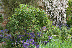 Rose trained on hoops and underplanted with aquilegias at Sissinghurst Castle Garden
