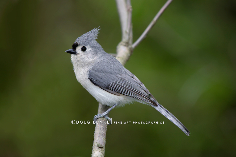 Tufted Titmouse Posing Nicely, Parus bicolor