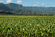 The taro fields in Hanalei Valley, Kauai, Hawaii.