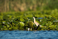 Squacco Heron (Ardeola ralloides) in the water lily reed, Danube Delta, Romania.