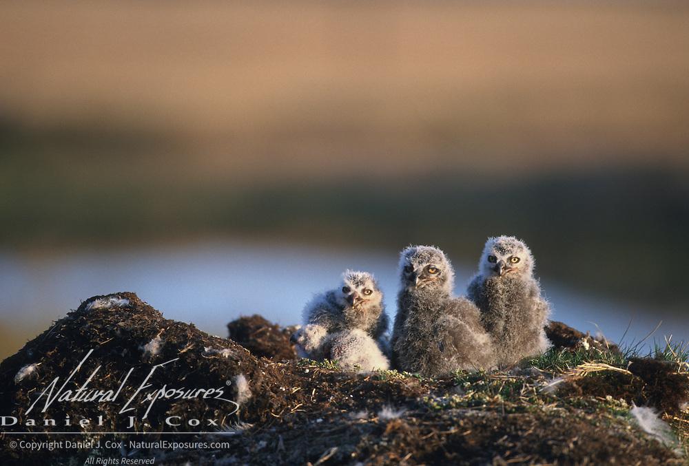 Snowy Owl (Bubo scandiacus) chicks in a nest. Barrow, Alaska