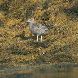 Sea gull in sea weed, Holbrook Island, Maine, US