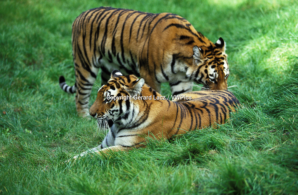Siberian Tiger, panthera tigris altaica, Male and Female