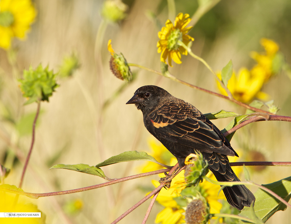 Red wing blackbird in the sunflowers