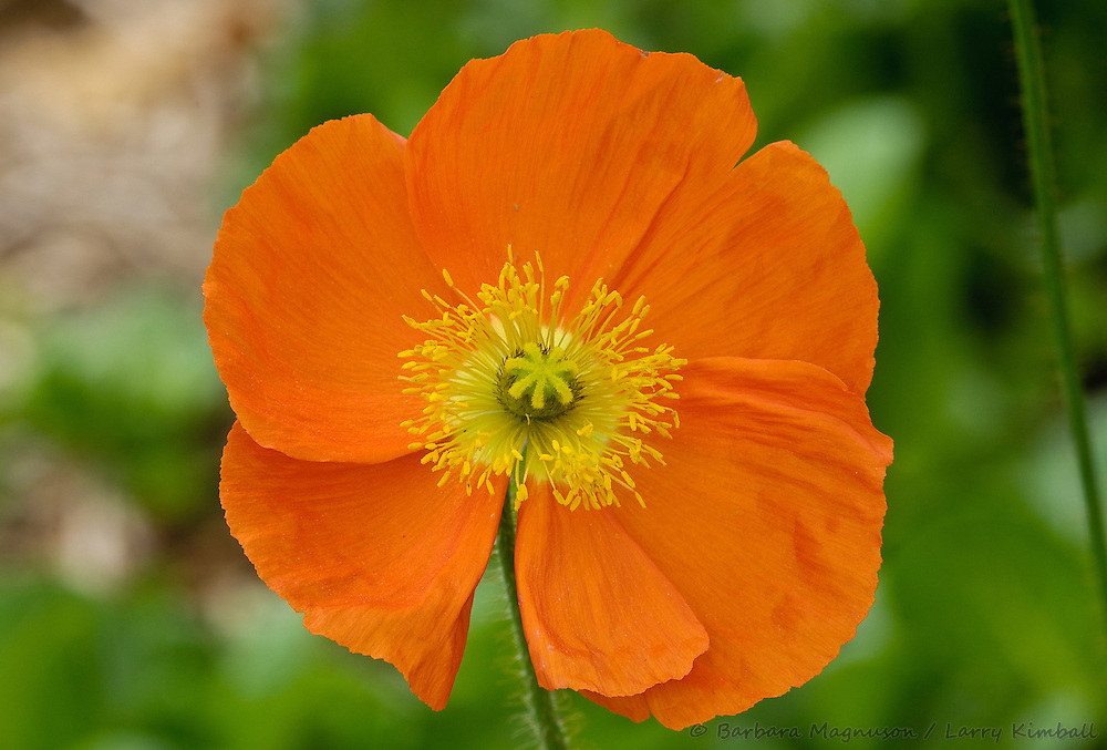 Iceland Poppy [Papaver ] flower, garden plant; Fremont County, Colorado