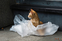 Stray cat playing in plastic in Makati district of Manila, Philippines. Copyright 2015 Reid McNally.