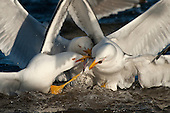 Gulls in action