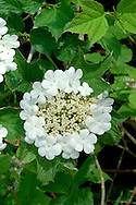 GUELDER-ROSE Viburnum opulus (Caprifoliaceae) Height to 4m. Branched and deciduous shrub with hairless and angled twigs and scaly buds. Grows in hedgerows and scrub, mainly on heavy soils. FLOWERS are white; borne in flat-topped clusters comprising outer flowers that are 15-20mm across the inner ones that are 4-7mm across (Jun-Jul). FRUITS are red berries, borne in clusters. LEAVES are divided into 5 irregularly-toothed lobes. STATUS-Widespread and common, except in the N