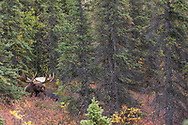 Alaskan bull moose bedded in spruce habitat.