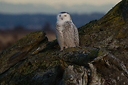 Snowy Owl, Boundary Bay, British Columbia, Canada