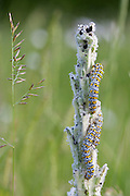 Mullein Shargacucullia verbasci moth caterpillars feeding on wild poppy plant in English country garden, UK
