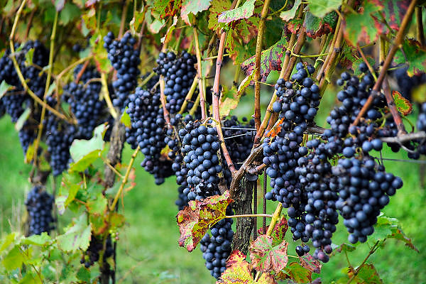 Nederland, Groesbeek, 21-9-2010Bij de biologische wijngaard Holdeurn zijn vrijwilligers bezig met de druivenoogst van dit seizoen. Het eerst gaan de druiven die het door de vele regen van de afgelopen tijd zwaar te verduren hadden, en gedeeltelijk door schimmel zijn aangetast.Foto: Flip Franssen