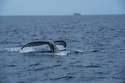 humpback whale tail in Tonga