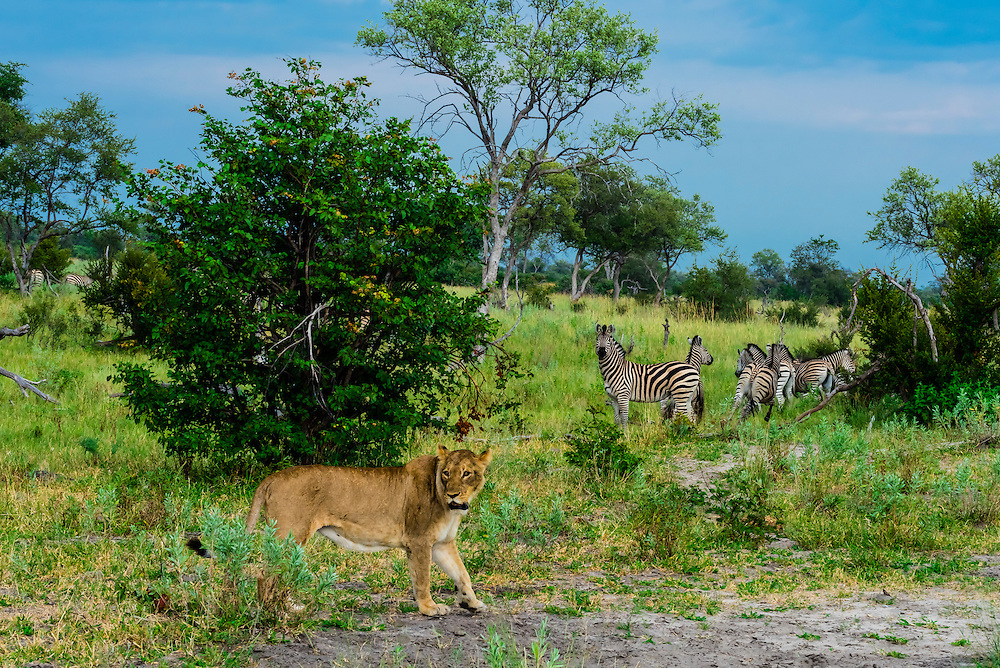 A lioness walks through the bush as a herd of zebras watch in the background, Kwando Concession, Linyanti Marshes, Botswana.