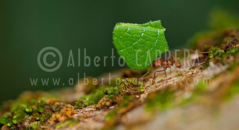 Alberto Carrera, Leafcutter Ant, Tropical Rainforest, Costa Rica, Central America, America