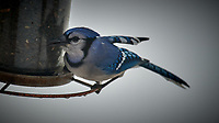 Blue Jay. Image taken with a Nikon D5 camera and 600 mm f/4 VR lens (ISO 100, 600 mm, f/4, 1/800 sec).