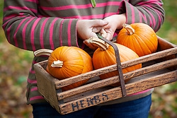 Trug of harvested pumpkins