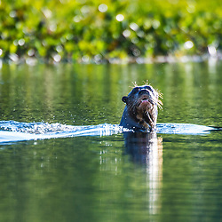 """Ariranha (Pteronura brasiliensis) fotografado em Corumbá, Mato Grosso do Sul. Bioma Pantanal. Registro feito em 2017.<br /> <br /> <br /> <br /> ENGLISH: Giant Brazilian Otter photographed in Corumbá, Mato Grosso do Sul. Pantanal Biome. Picture made in 2017."""