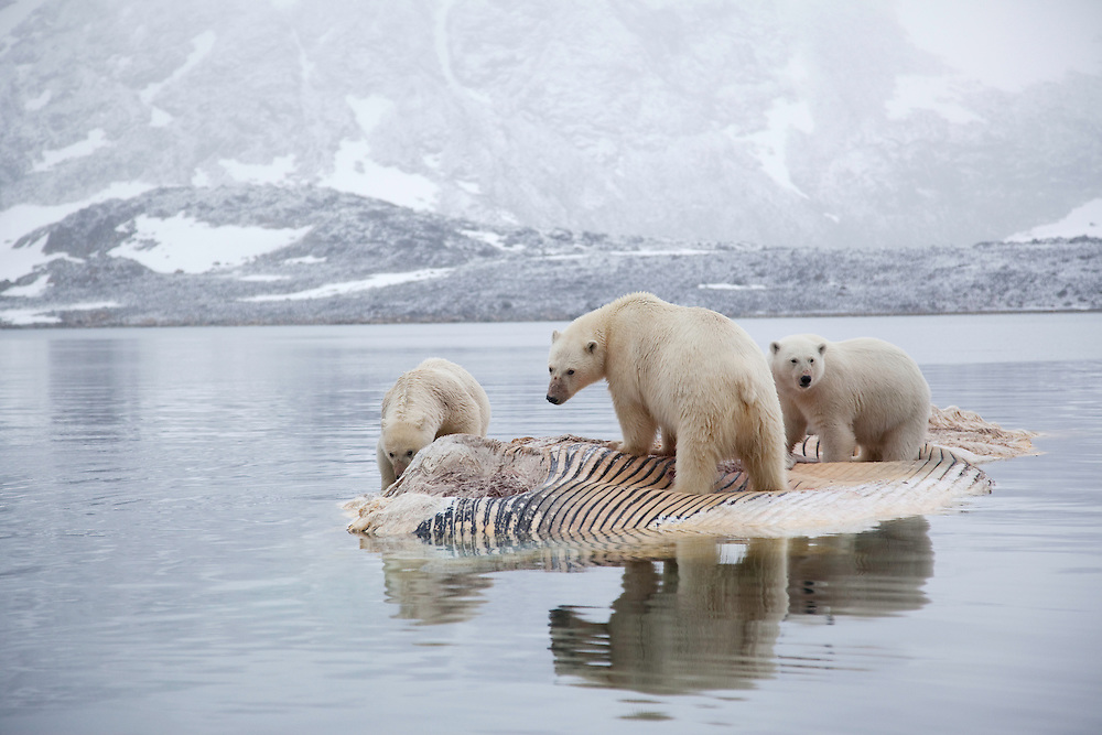 Polar bear (Ursus maritimus) trio feeding on dead whale, Svalbard, Norway.