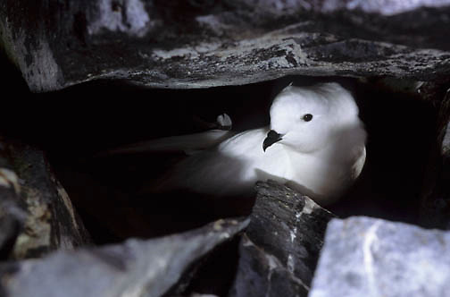 Snow Petrel (Pagodroma nivea) in rocks on nest on Paulet Island of the Antarctic Peninsula.