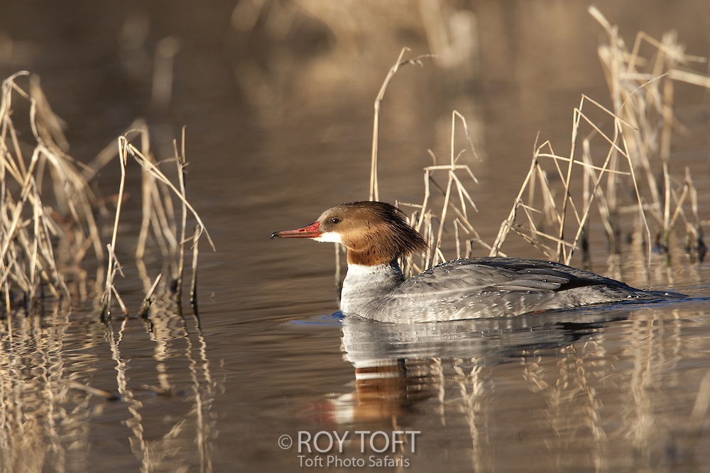 Female common merganser, Sonoran desert, Arizona