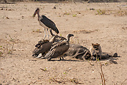 A carcass of a dead elephant is eaten by white-backed vultures (Gyps africanus) and marabou storks (Leptoptilos crumenigerus). Photographed at Hwange National Park, Zimbabwe