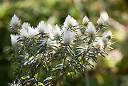 Africa, Ethiopia, Simien mountains flowering white Paronychia plant (Silver nailroot)