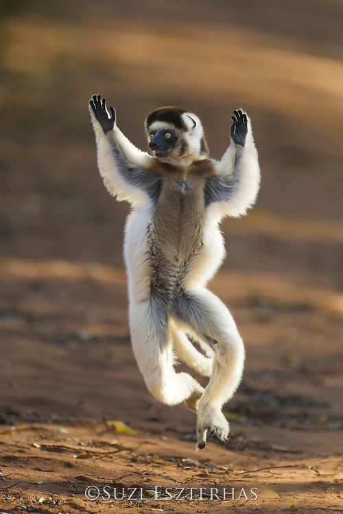 Verreaux's Sifaka <br /> Propithecus verreauxi<br /> &quot;Dancing&quot; across open ground<br /> Berenty Private Reserve, Madagascar