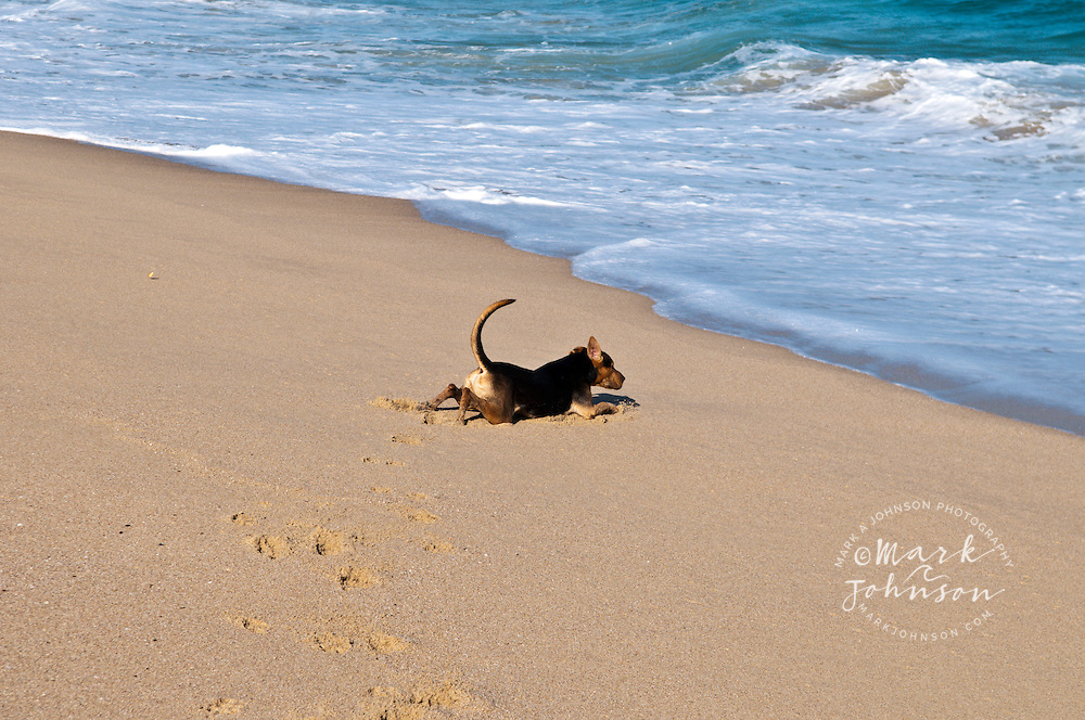 Peso the dog enjoying the beach, Baja California Sur, Mexico