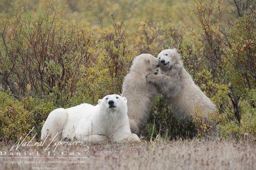 Polar Bear (Ursus maritimus) mother and cubs. Hudson Bay, Manitoba, Canada
